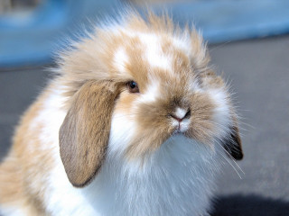 Image of a rabbit for Vets Now article on RVHD2