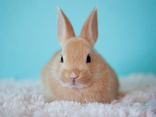 Image of a rabbit for Vets Now article on RHD2