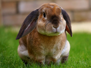 Image of a rabbit for Vets Now article on rabbit haemorrhagic disease (RHD2)
