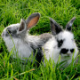 Image of two rabbits sitting together for Vets Now article on rabbit haemorrhagic disease (RHD2)