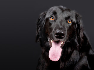 Image of a dog with its tongue out for Vets Now article on dehydration in dogs and is my dog dehydrated
