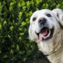 Image of a dog with its mouth open for Vets Now article on pale gums in dogs