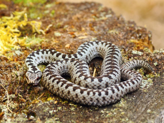 Image of a European Adder for Vets Now article on dog adder attack