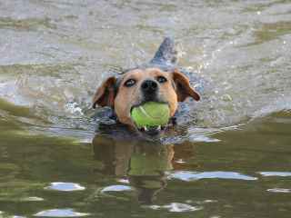 Image of a dog with a ball in water for Vets Now article on dog drank too much water and water intoxication dogs