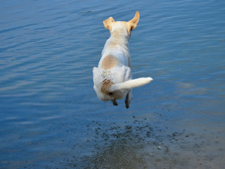 Image of a dog jumping into water for Vets Now article on dog drinking so much water intoxication dogs