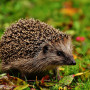 Image of a hedgehog for Vets Now article on injured hedgehog advice