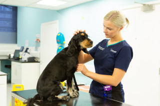 Addisons In Dogs Hypoadrenocorticism Vets Now