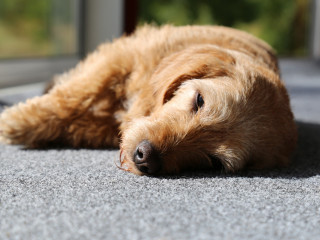 Image of a dog lying down for Vets Now article on colitis dogs