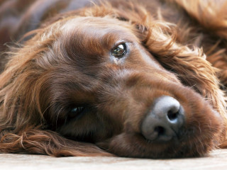 Image of an Irish setter for Vets Now article on what is peritonitis in dogs