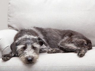 Image of a mixed breed dog sleeping for Vets Now article on what is peritonitis in dogs