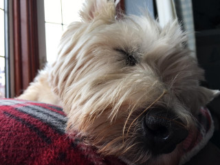Archie the Westie for Vets Now article on dogs fireworks effects