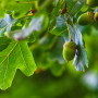Image of acorns on a tree for Vets Now article on dogs eating acorns and are acorns poisonous to dogs