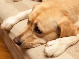 Image of a worried Labrador for Vets Now article on how to calm your dog during fireworks