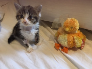 Tiny kitten, Ellie, recovering after blood transfusion at Vets Now
