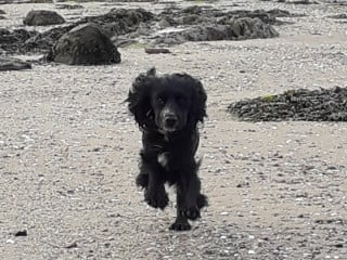 Image of Trooper the spaniel running on the beach for Vets Now article on dog jellyfish sting uk