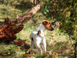 Image of a Jack Russel for Vets Now article on dogs and mushroom and can dogs eat mushrooms