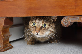 Image of a cat hiding under furniture for Vets Now fireworks and pets hub