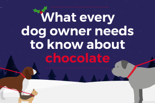 An infographic about chocolate poisoning in dogs.