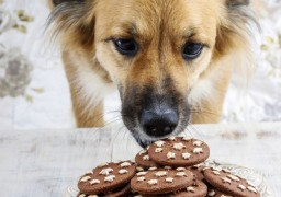 Image of dog eating chocolate for Vets Now content hub on dog ate chocolate